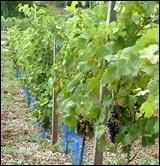 Erlenbacher Weinwanderweg 7